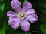 17th Jul 2019 - Clematis Dew Drops