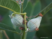 30th Jul 2019 - Milkweed Pods