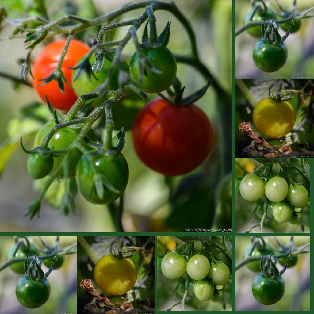 Progress on the Tomato Front by taffy