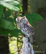 23rd Jul 2019 - Geordie the Screech Owl
