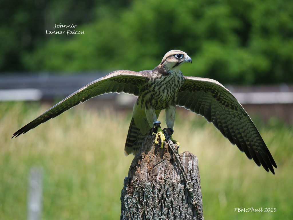 Johnnie, a Lanner Falcon by selkie