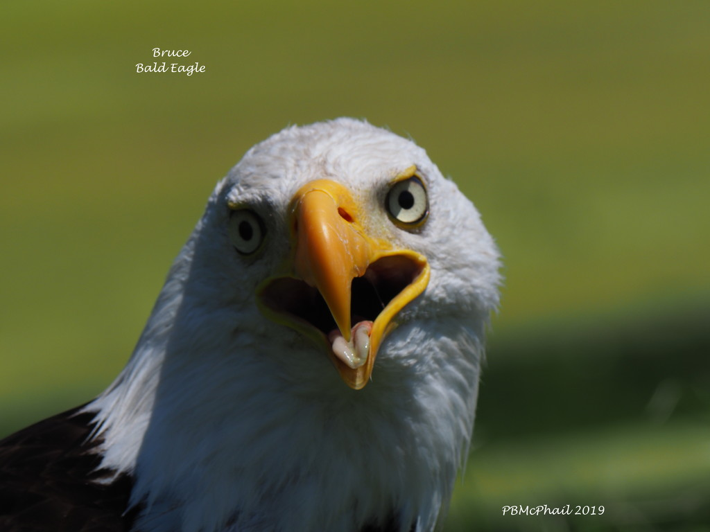 Bruce the Bald Eagle by selkie