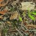 Mountain Chorus Frog Incognito