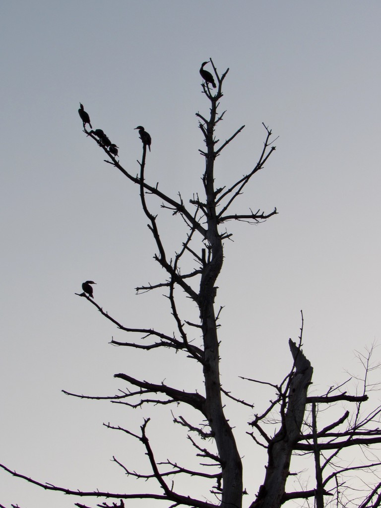 Bird Tree In Silhouette  by hbdaly