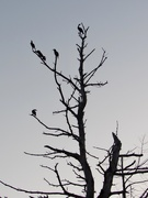 12th Aug 2019 - Bird Tree In Silhouette