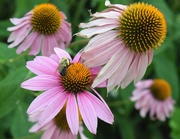12th Aug 2019 - Bee and Coneflowers