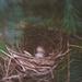 A Cardinal's Nest by lyndemc