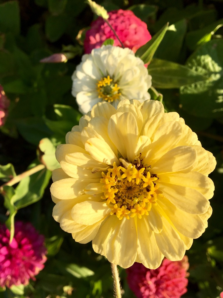 Zinnia's in the afternoon by momamo