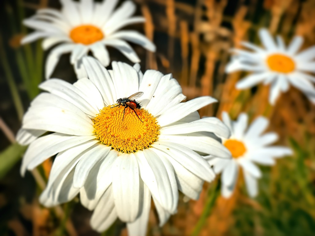 Visiting a Daisy by ludwigsdiana