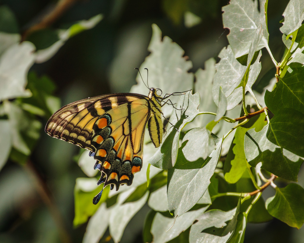 yellow swallowtail by aecasey