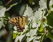 12th Aug 2019 - yellow swallowtail