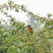 3rd Aug 2019 -  kingfisher
