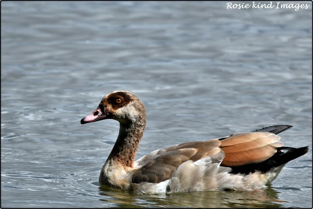 Egyptian goose by rosiekind