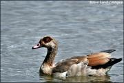 13th Aug 2019 - Egyptian goose