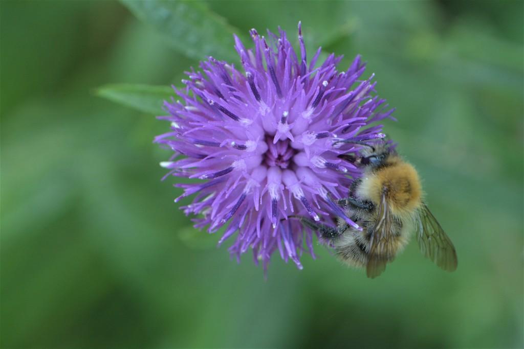 Bee n thistle....... by ziggy77