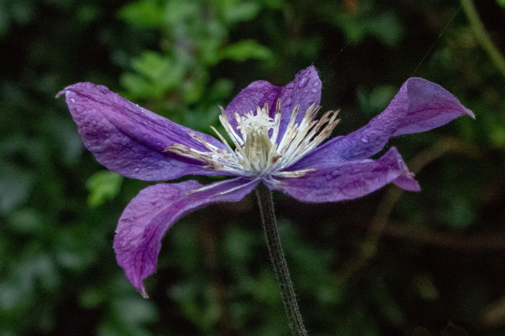 Clematis by sheilaw