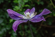 11th Aug 2019 - Clematis