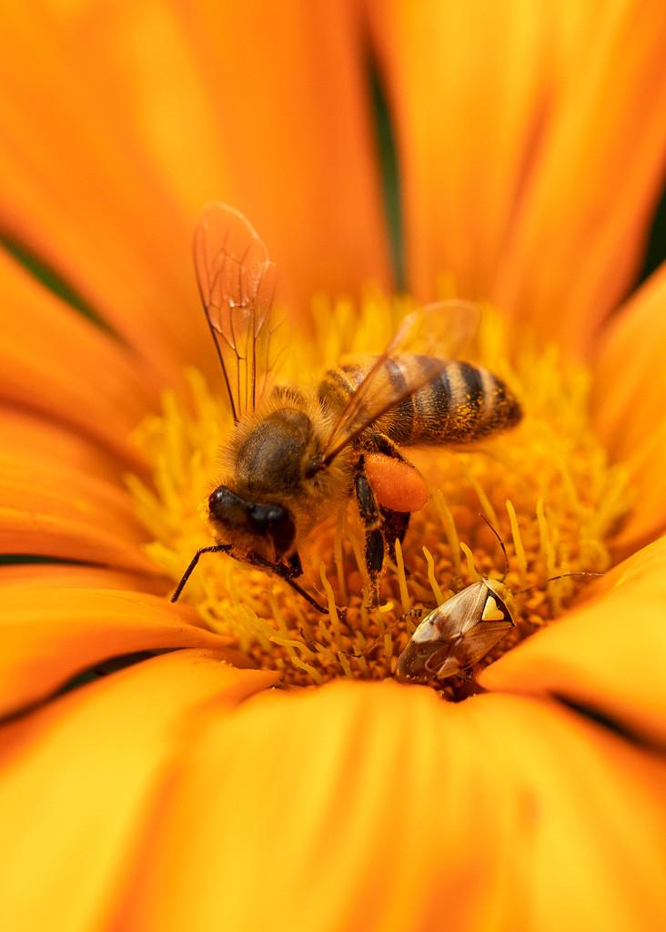 honey bee and shield bug  by shepherdmanswife