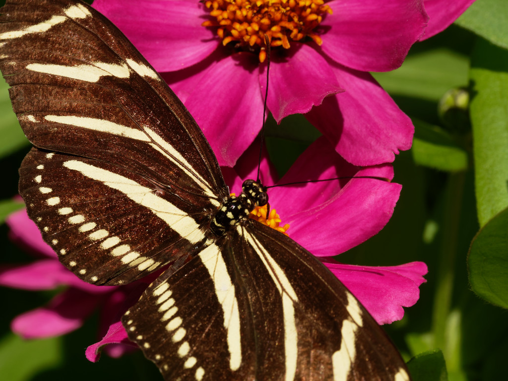 zebra butterfly by rminer
