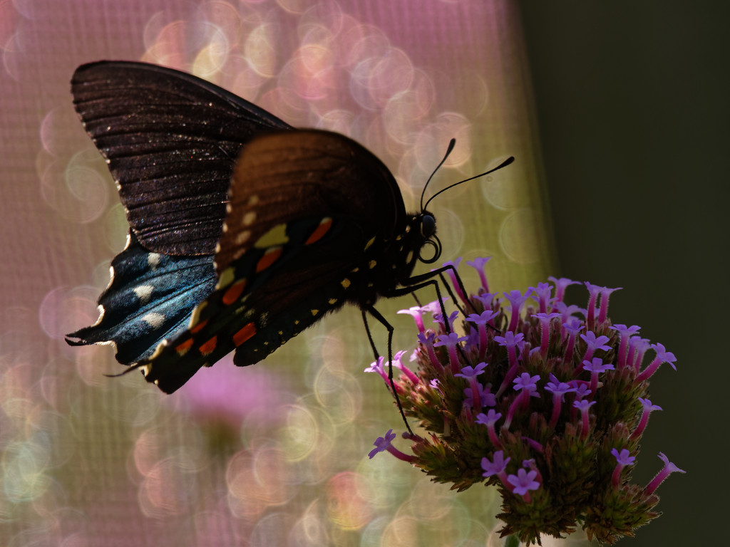 swallowtail by rminer