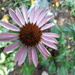 Cone Flower, the next day