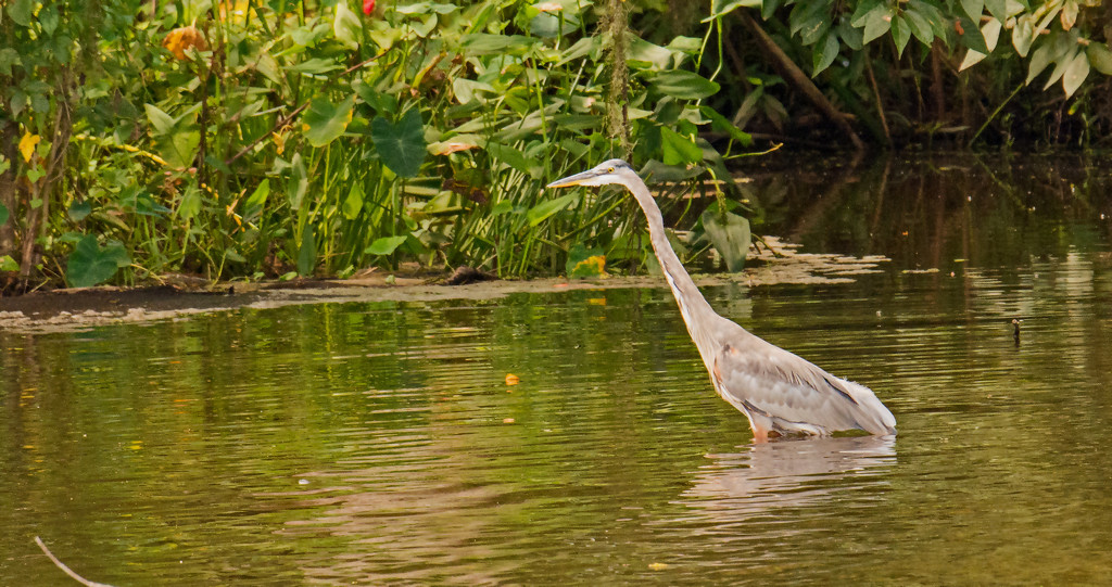 Blue Heron on the Prowl! by rickster549