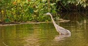 13th Aug 2019 - Blue Heron on the Prowl!