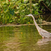Blue Heron on the Prowl!