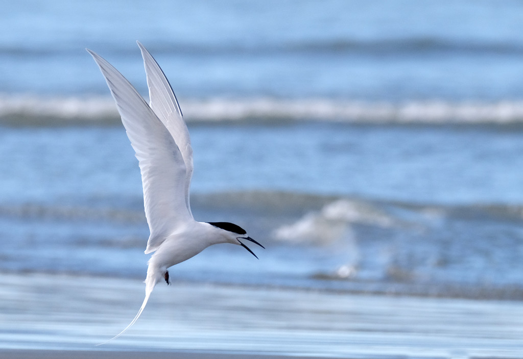 White fronted tern coming in to land by maureenpp