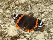 2nd Aug 2019 - Red Admiral