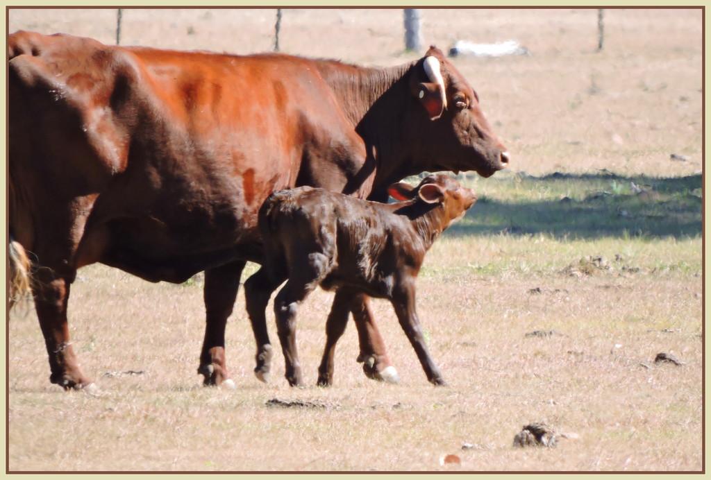 First Calf of the Season by ubobohobo