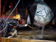 14th Aug 2019 - Releasing fish from a trawl net onto the fish deck