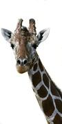 13th Aug 2019 - Giraffe