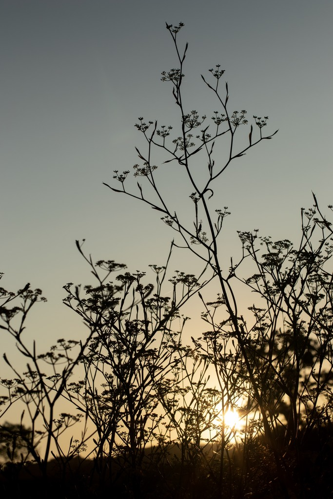 Wild fennel at sunrise by angelikavr