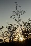 14th Aug 2019 - Wild fennel at sunrise