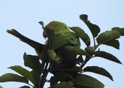 1st Aug 2019 - Ring necked Parakeet