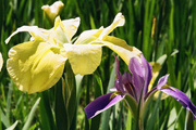 2nd Aug 2019 - Iris in LSU colors