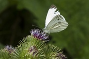 12th Aug 2019 - Cabbage white on greater burdoch