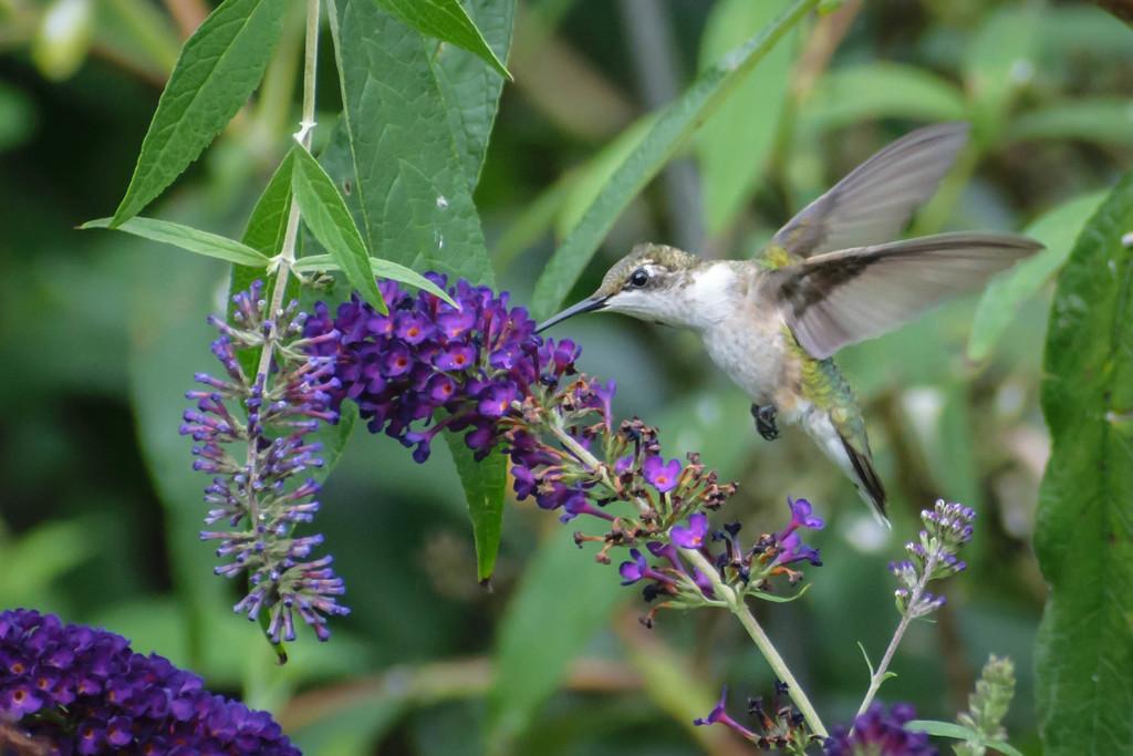 Hummingbird and Flower by marylandgirl58