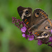 Buckeye Butterfly by marylandgirl58
