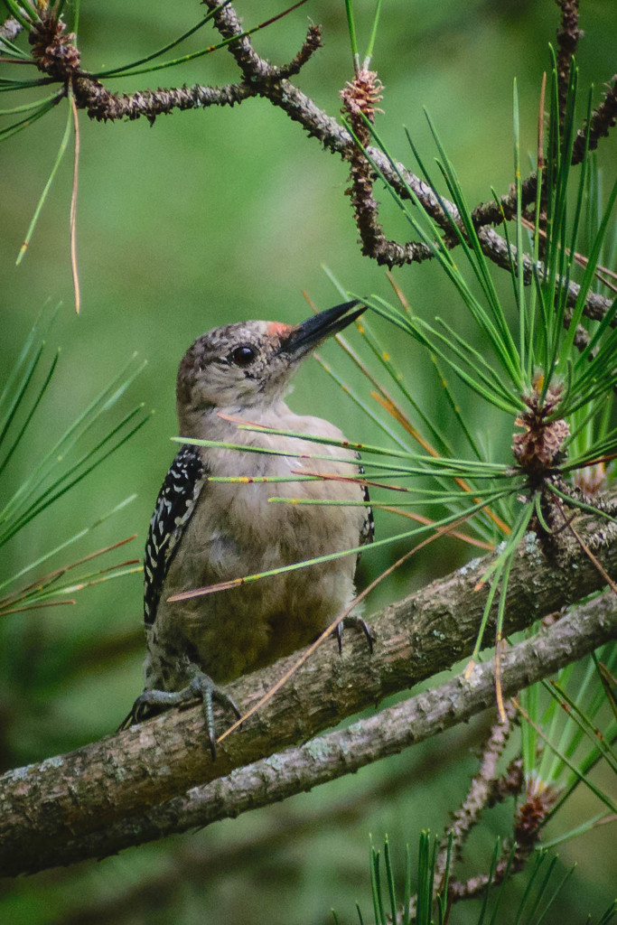Woodpecker in Pine Tree by marylandgirl58