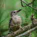 Woodpecker in Pine Tree