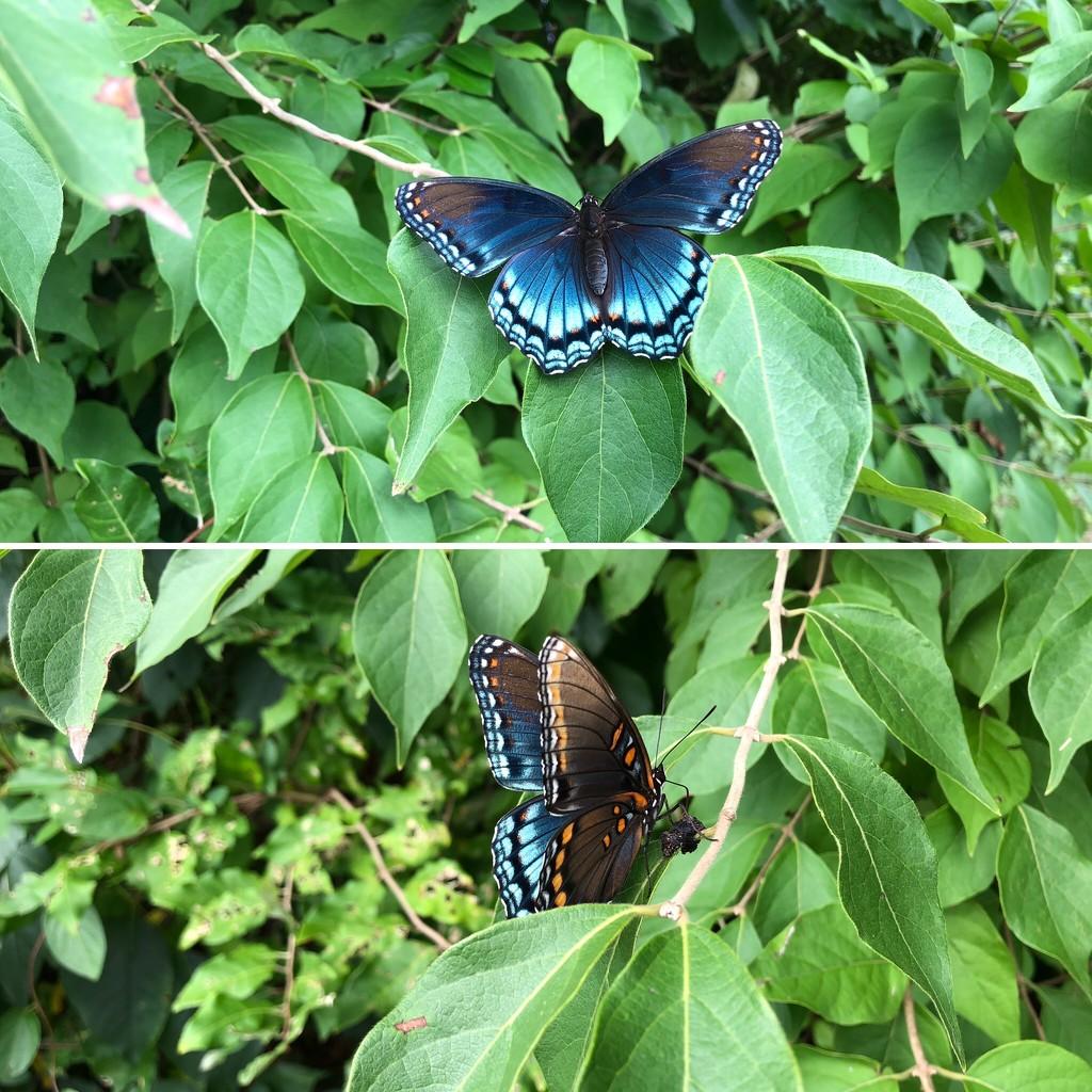 Female Black Swallowtail by loweygrace
