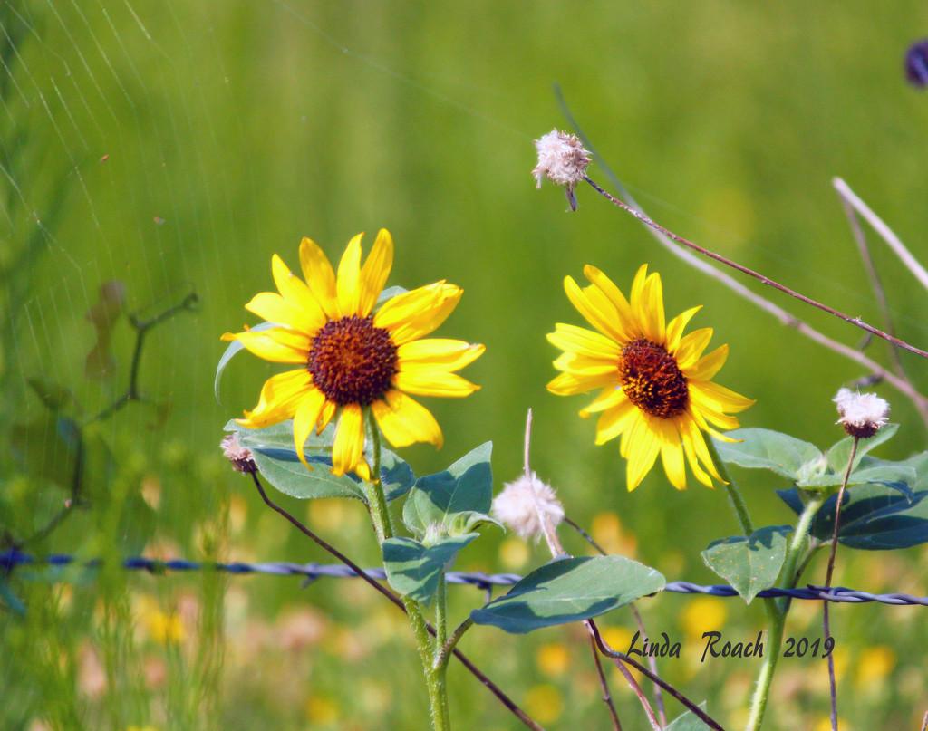 Sunny Sunflowers by grannysue