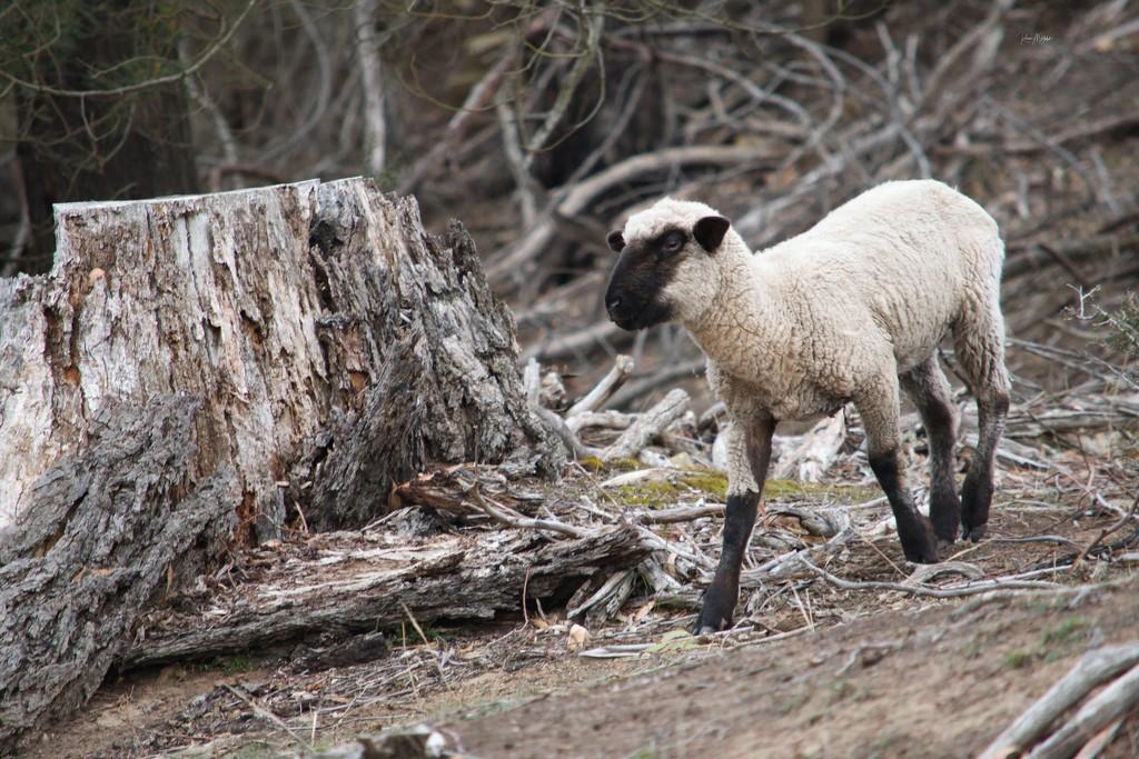 Sheep by kgolab