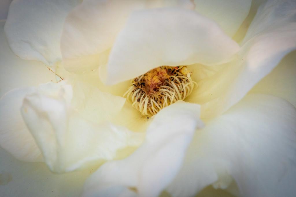 rose by nicoleweg