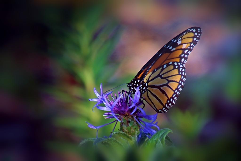 Monarch  by lynnz