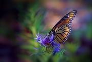14th Aug 2019 - Monarch