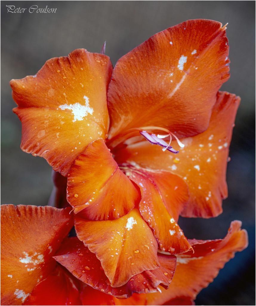 Orange Gladioli by pcoulson
