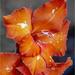 Orange Gladioli